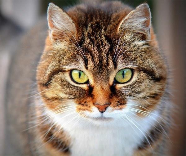 brown cat looking at camera